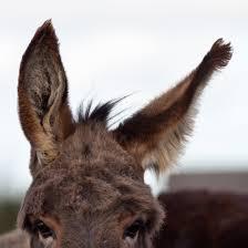 donkey ears