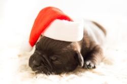 dog-christmas-xmas-bulldog-medium